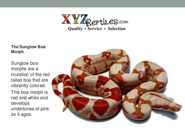 Boas for sale at xyzReptiles com