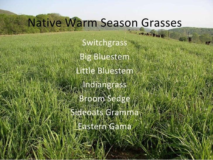 Native Warm Season Grasses Switchgrass Big Bluestem Little Bluestem Indiangrass Broom Sedge Sideoats Gramma Eastern Gama