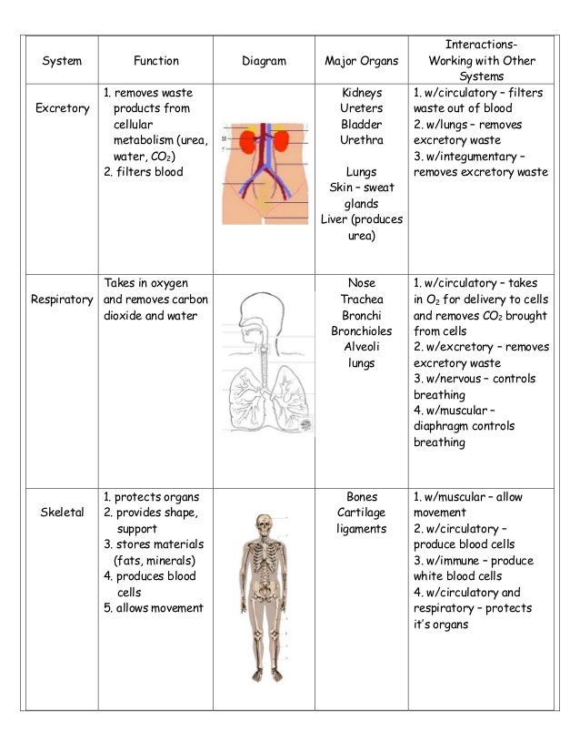 Body system study sheet 2 system function diagram major organs ccuart Choice Image