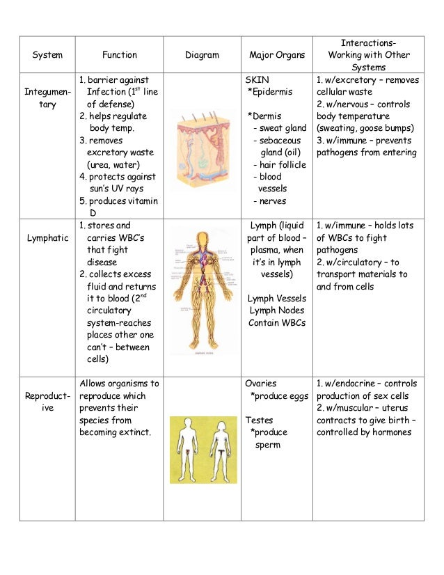 body system-study-sheet, Muscles