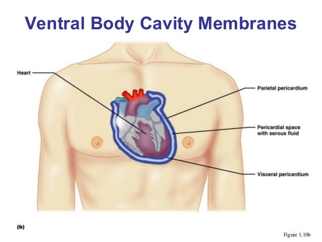 Body cavities ventral body cavity membranes figure 110b 12 ccuart Images