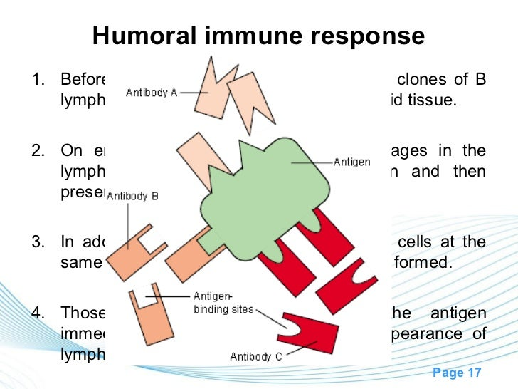 Humoral immune response1. Before exposure to a specific antigen, the clones of B   lymphocytes remain dormant in the lymph...