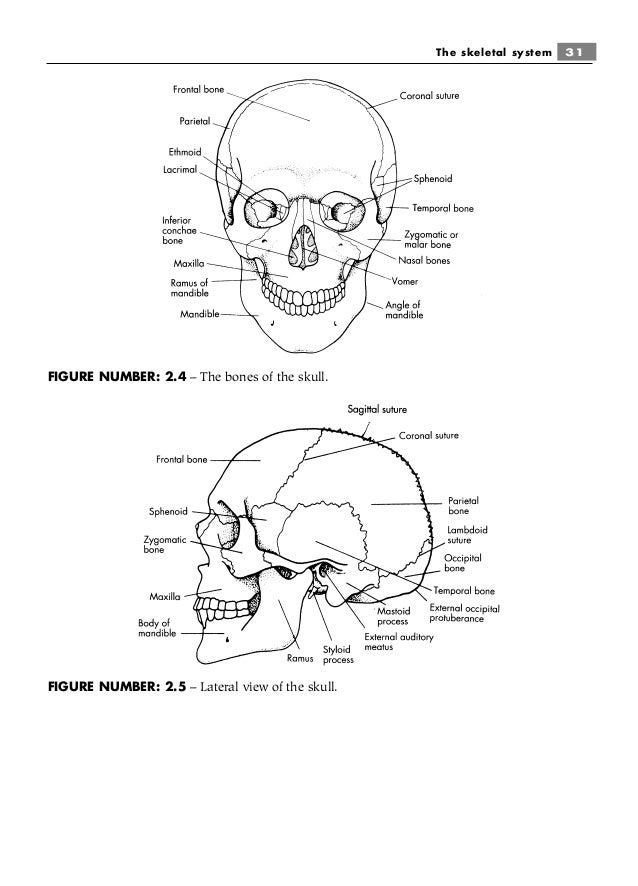 How does exercise help the skeletal system?