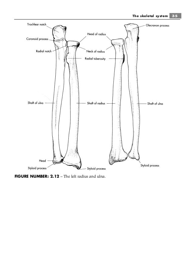 Radius And Ulna Diagram Unlabeled | Diagram