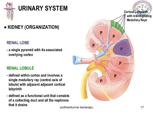 body fluids and renal functions, Human Body