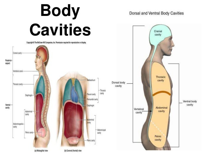 9488103 as well Lesson 1 besides Kinesiology Background in addition 4999823 also Anatomy And Physiology Anatomical Position And Directional Terms. on body planes directions and cavities