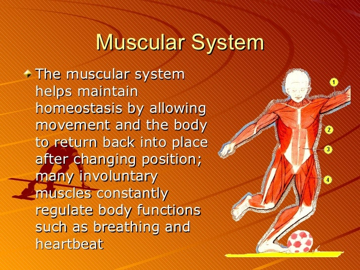how the nervous system maintain homeostasis Endocrine system and nervous system and homeostasis what the endocrine system uses to maintain homeostasis a centre of the automatic nervous system.