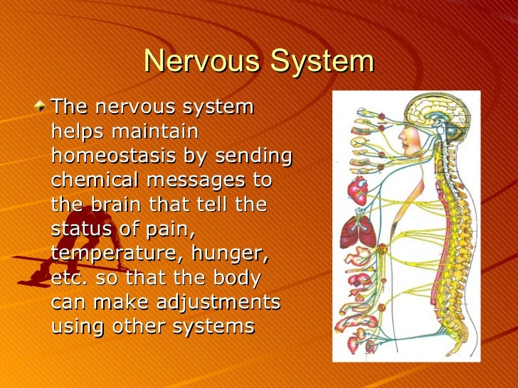 how does the nervous system help the body maintain homeostasis
