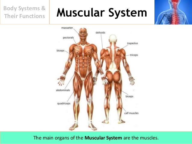 Body Systems And Their Functions