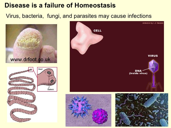 Disease is a failure of Homeostasis Virus, bacteria,  fungi, and parasites may cause infections