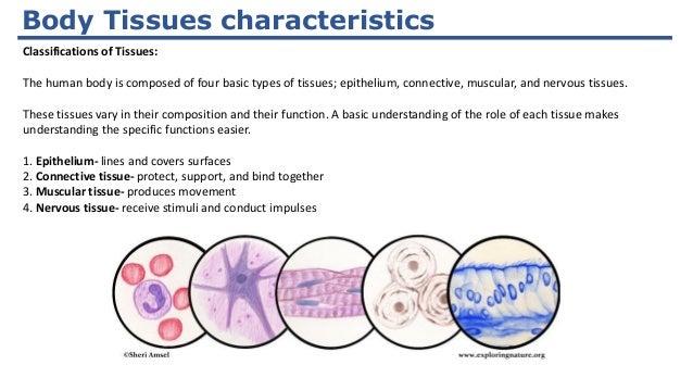 diagram of body tissues wiring block diagram Diagram of Peripheral Nerves diagram of human body tissue wiring diagrams hubs concept map of body tissue diagram of body tissues