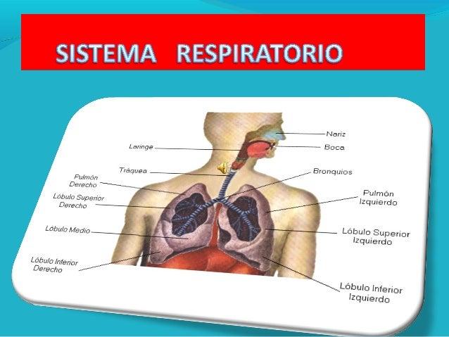 IMPORTANCIA BIOLOGICA DE LA RESPIRACION Las células requieren de energía las cuales se pueden conseguir mediante las reacc...