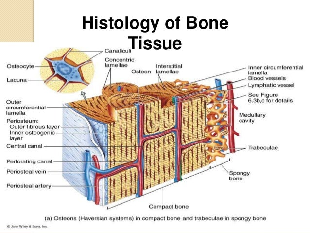 Histology - Specialized Connective Tissues (BONE)