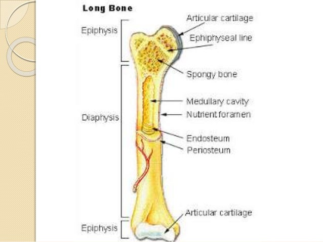 is bone connective tissue 1 s l i d e 1 connective tissue proper tissue that fills-in a continuous compartment and connects muscle to bone & bone to bone robert w ogilvie, phd.