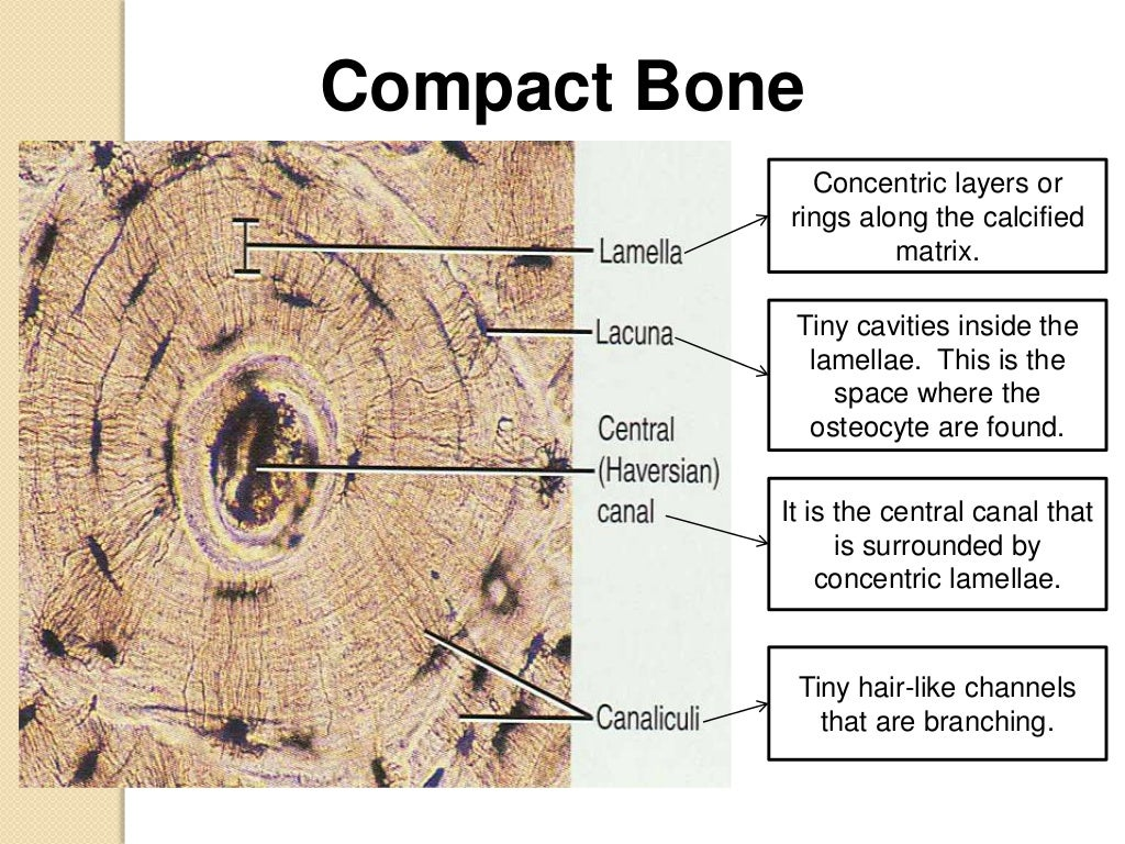 01 bone tissue assignment Hematopoietic cells are housed in the bone marrow the most characteristic  component of bone tissue is the mineralized extracellular matrix.