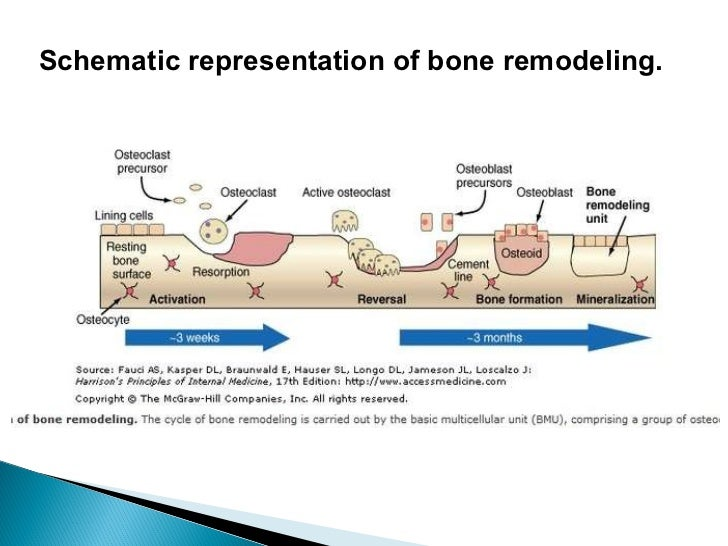 bone remodeling regulating bone strength and The process of bone resorption by the osteoclasts releases stored calcium into systemic circulation and is an important process for regulating calcium balance as bone formation actively fixes circulating calcium in its mineral form by removing it from the bloodstream, resorption actively unfixes it, thereby increasing circulating calcium levels.