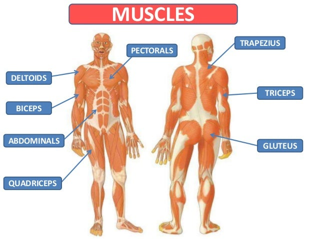 Bones And Muscles 34047408