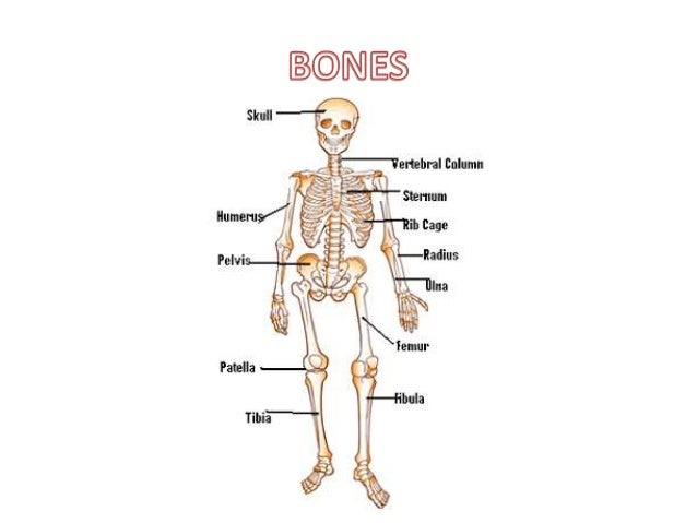 bones and muscles of the body, Muscles