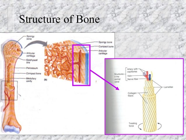composition and structure of long bone and skeleton function Bones give the human body structure and support, much the same way that the beams of a house support and form the walls and roof of a house long bones -- a subtype of bones -- are longer than they are wide.