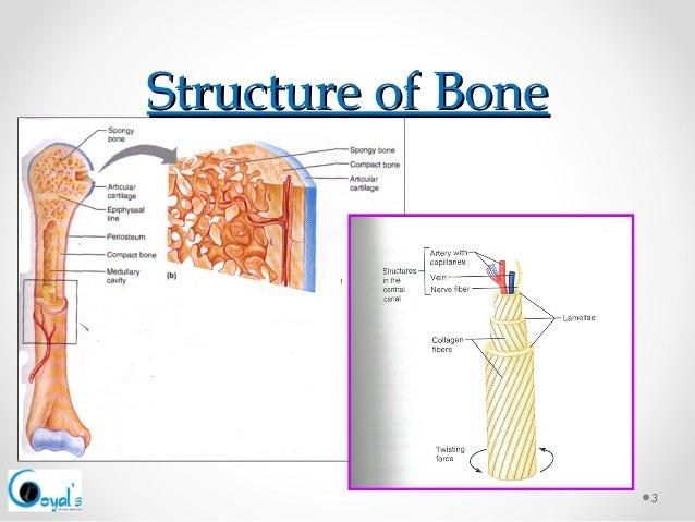 Bone anatomy ppt