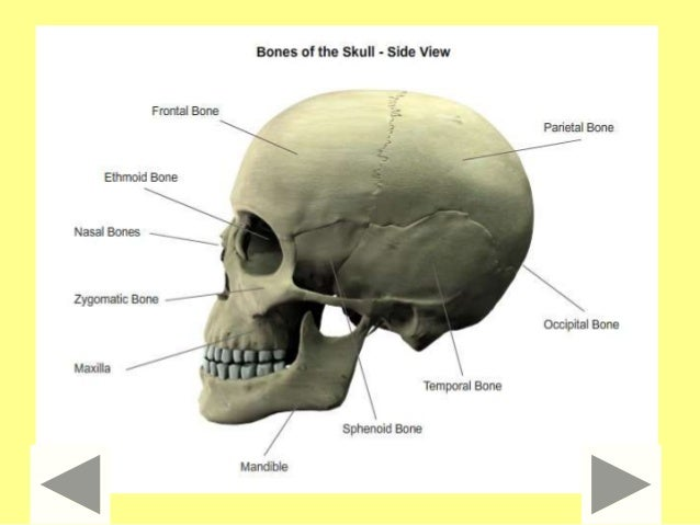 Bones millionaire quiz diagram of the skull ccuart Images