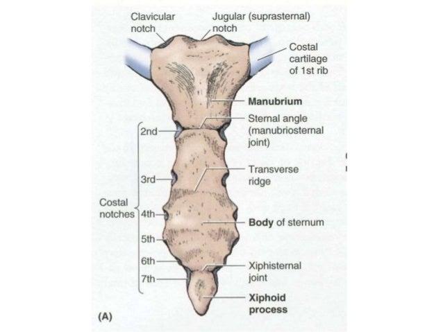 Bones of thorax
