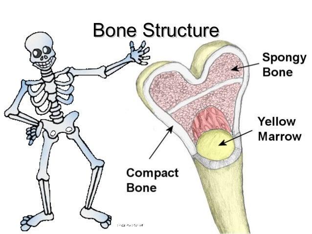 Bones of your Skeletal System