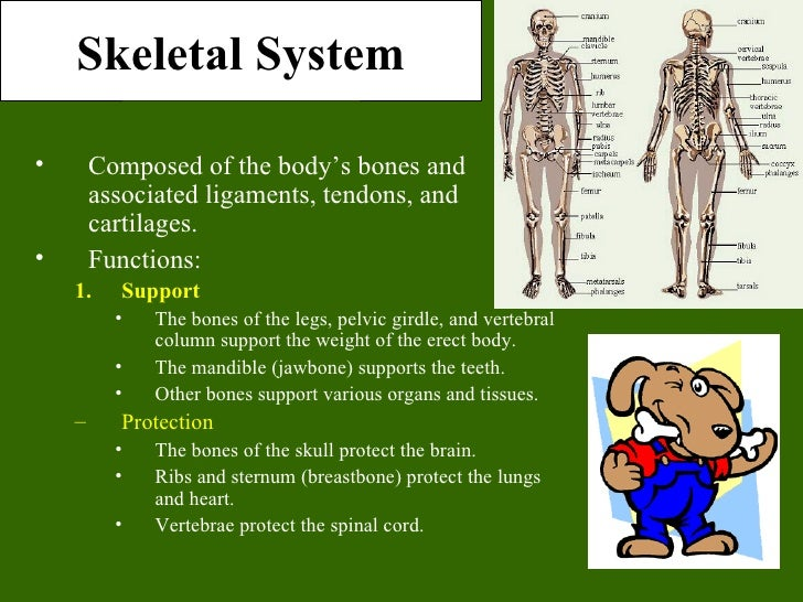 Skeletal System•       Composed of the body's bones and        associated ligaments, tendons, and        cartilages.•     ...
