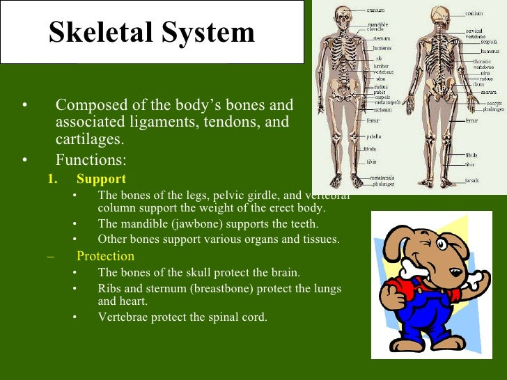 Skeletal System <ul><li>Composed of the body's bones and associated ligaments, tendons, and cartilages. </li></ul><ul><li>...