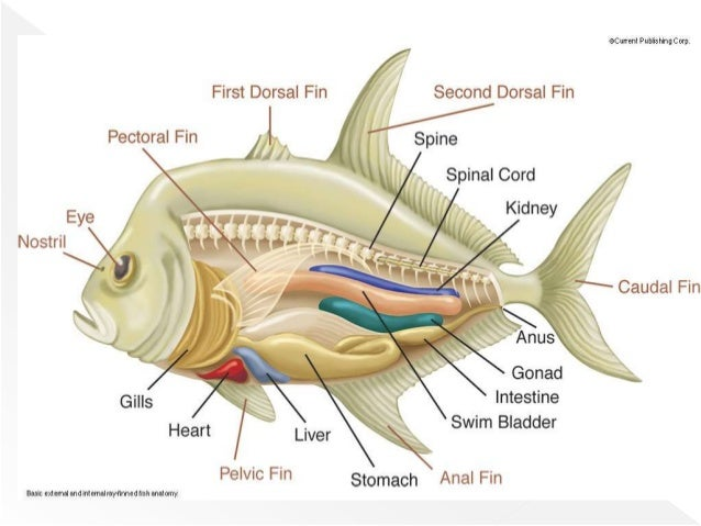 class osteichthyes bony fishes