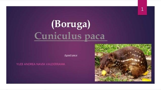 (Boruga) Cuniculus paca Agouti paca YUDI ANDREA NAVIA VALDERRAMA 1