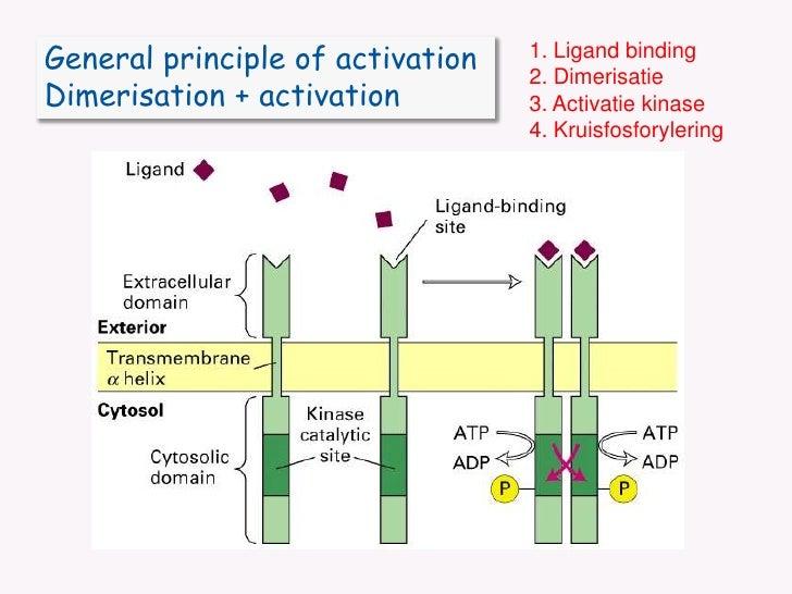 1. Ligand binding<br />2. Dimerisatie<br />3. Activatie kinase<br />4. Kruisfosforylering<br />General principle of activa...