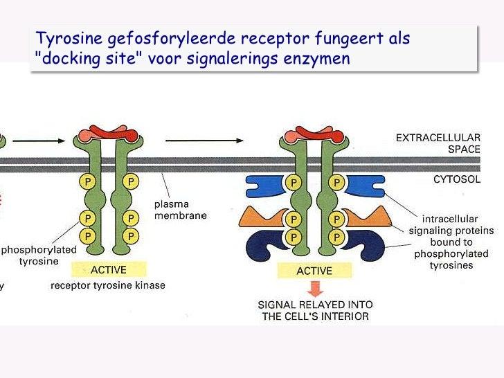 Tyrosine gefosforyleerde receptor fungeert als &quot;docking site&quot; voor signalerings enzymen<br />
