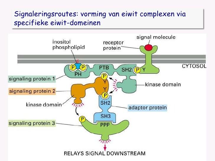 Signaleringsroutes: vorming van eiwit complexen via specifieke eiwit-domeinen <br />