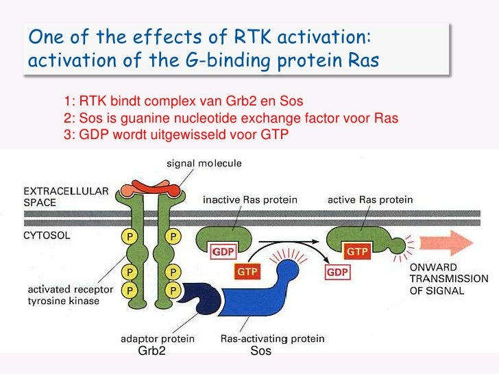One of the effects of RTK activation:<br />activation of the G-binding protein Ras<br />1: RTK bindt complex van Grb2 en S...
