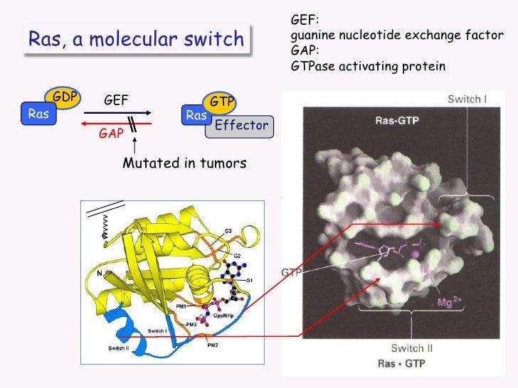 Ras, a molecular switch<br />GDP<br />GEF<br />GTP<br />Ras<br />Ras<br />Effector<br />GAP<br />Mutated in tumors<br />vv...