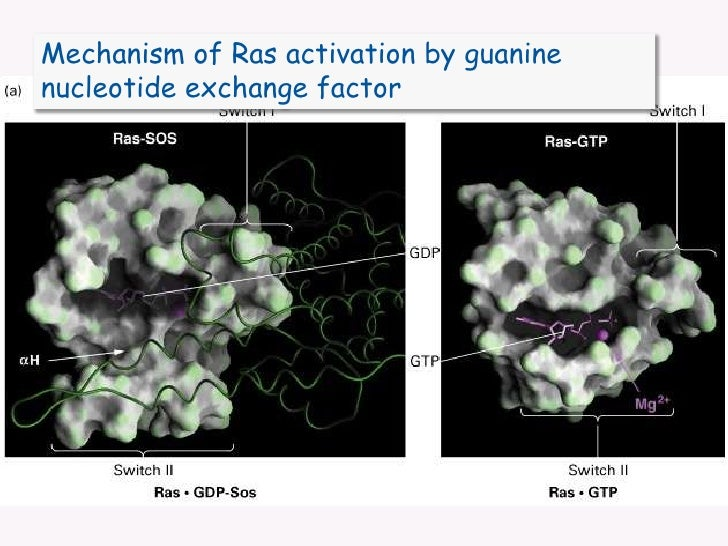 Mechanism of Ras activation by guanine nucleotide exchange factor<br />