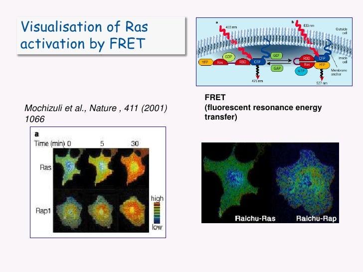 Visualisation of Ras activation by FRET<br />FRET<br />(fluorescent resonance energy transfer)<br />Mochizuli et al., Natu...