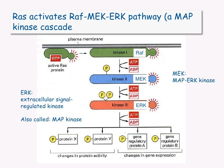 Ras activates Raf-MEK-ERK pathway (a MAP kinase cascade<br />Raf<br />MEK: <br />MAP-ERK kinase<br />MEK<br />ERK: <br />e...