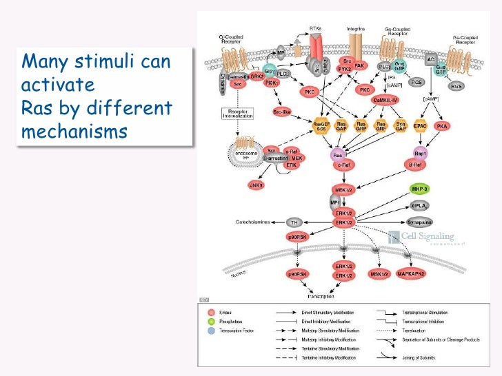 Many stimuli can activate <br />Ras by different mechanisms<br />