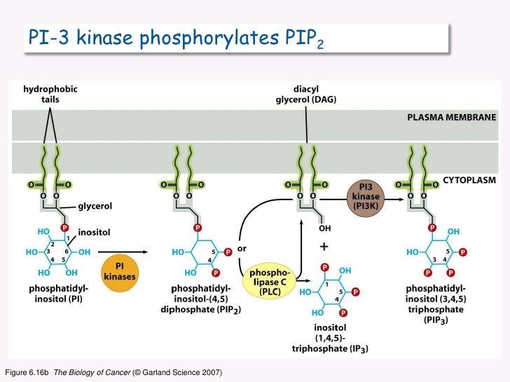 PI-3 kinase phosphorylates PIP2<br />Figure 6.16b  The Biology of Cancer (© Garland Science 2007)<br />