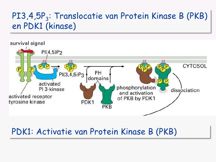 PI3,4,5P3: Translocatie van Protein Kinase B (PKB)<br />en PDK1 (kinase)<br />PDK1: Activatie van Protein Kinase B (PKB)<b...