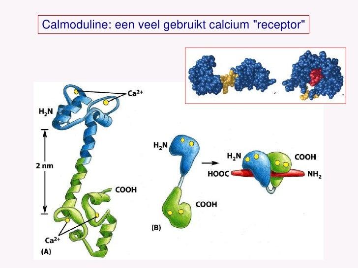 Calmoduline: een veel gebruikt calcium &quot;receptor&quot;<br />