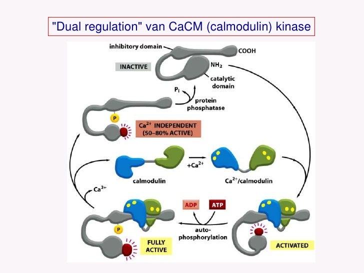 &quot;Dual regulation&quot; van CaCM (calmodulin) kinase<br />