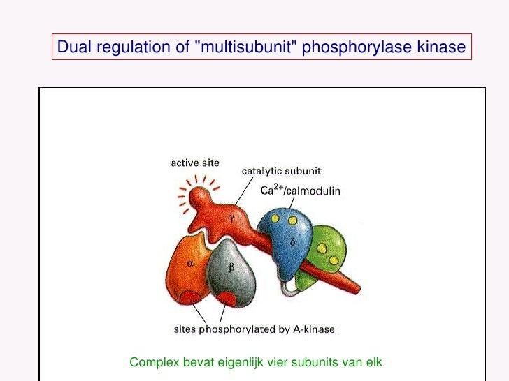 Dual regulation of &quot;multisubunit&quot; phosphorylase kinase<br />Complex bevat eigenlijk vier subunits van elk<br />