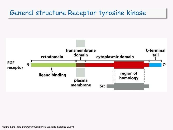 General structure Receptor tyrosine kinase<br />Figure 5.9a  The Biology of Cancer (© Garland Science 2007)<br />