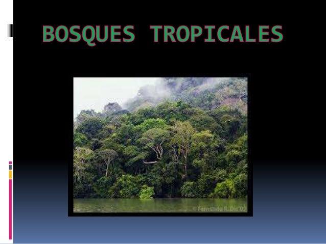 ¿QUE SON LOS BOSQUES TROPICALES?  Los bosques tropicales son aquellos bosques situados en la zona intertropical y que pre...