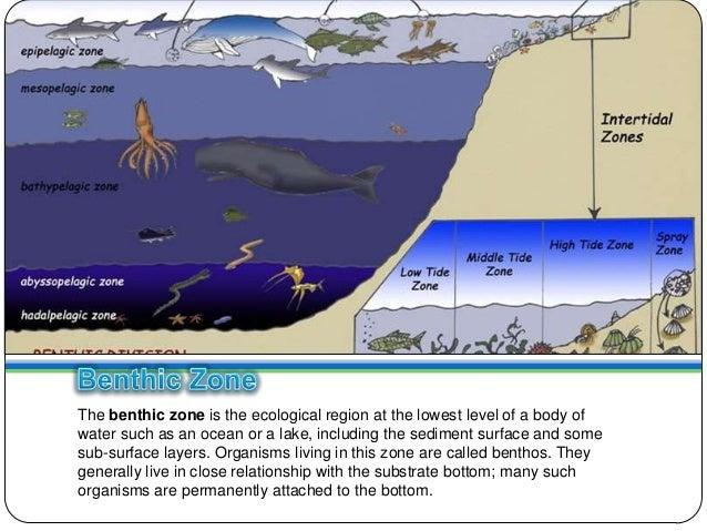 mesopelagic zone benthic