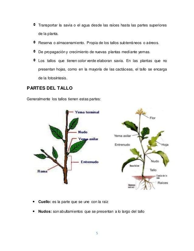 EL TALLO - MONOGRAFÍA UPSC