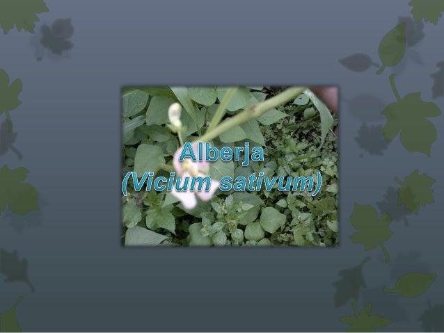 DESCRIPCIÓN                    Origen Cultivada     antiguamente       en      países  mediterráneos, se encuentra     en...
